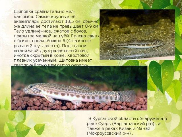 Рыба пикша: что это за рыба, где обитает, польза и вред, рецепты приготовления