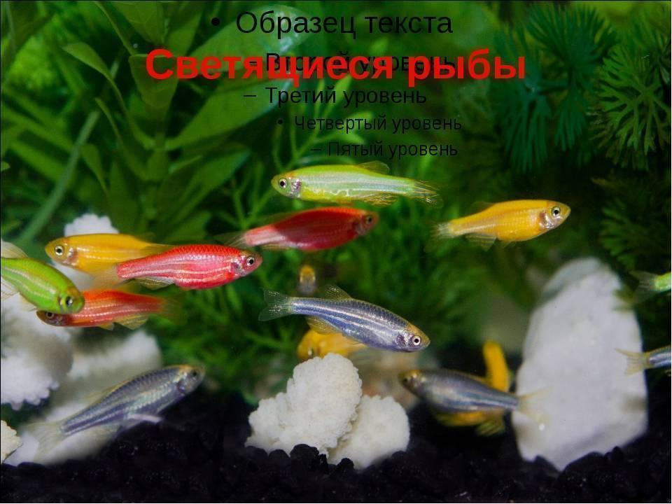 Размножение рыбок данио в домашних условиях