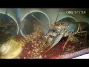 Чем следует кормить раков в домашних условиях