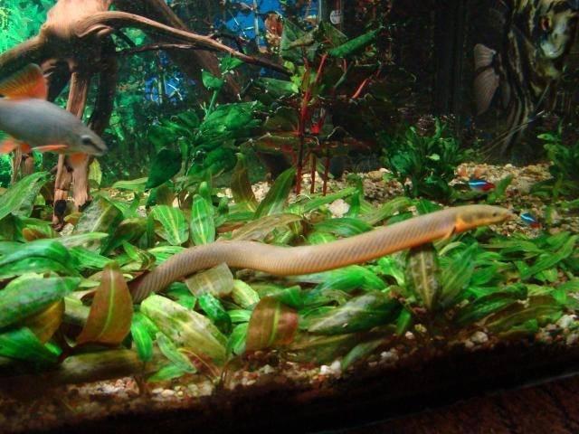 Каламоихт калабарский: рыба похожая на змею в вашем аквариуме