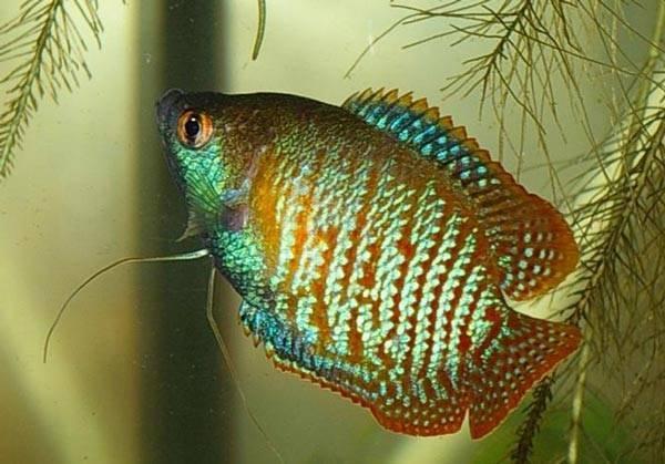 Лялиус: содержание, уход и размножение в аквариуме