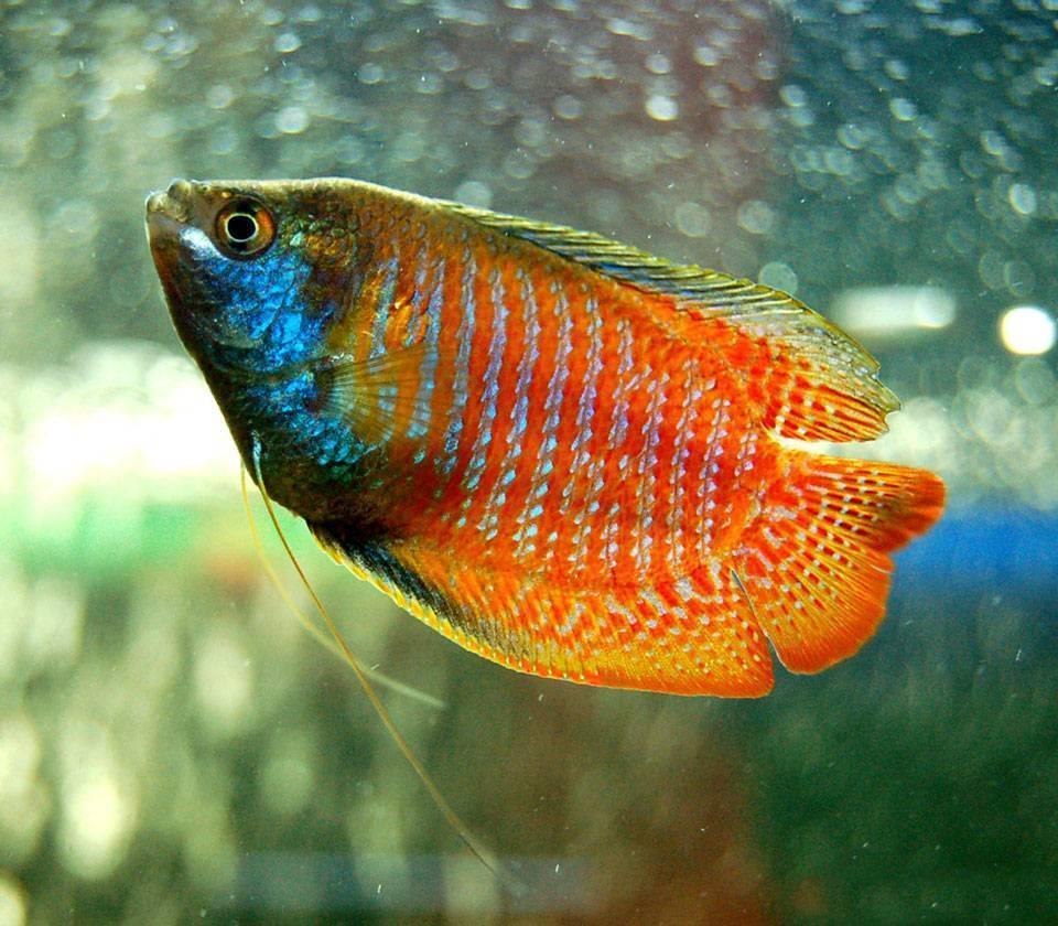 Лялиус (33 фото): правила содержания аквариумных рыбок, кобальтовые, красные, неоновые, радужные и другие виды лялиусов с описанием