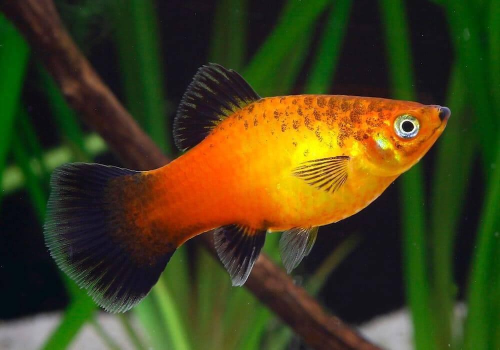 Разбираемся в особенностях размножения рыбок данио от а до я