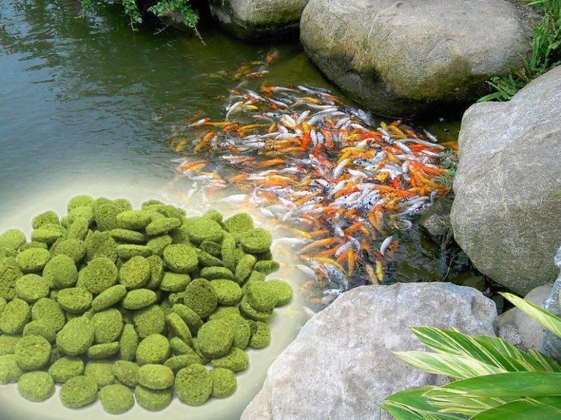 Рыба для пруда: особенности выращивания рыбы в пруду