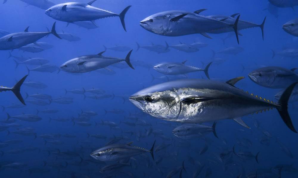 Тунец рыба. описание, особенности, виды, образ жизни и среда обитания тунца | живность.ру