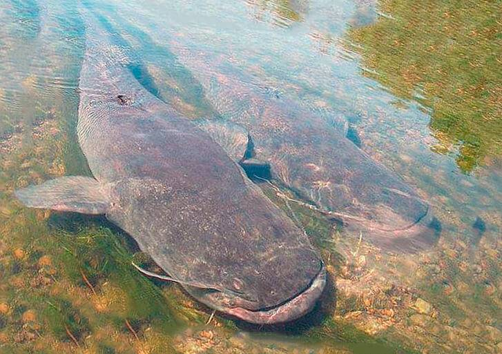 Аквариумная рыбка сомик, чем питается и как содержать, как размножается и как отличить самца от самки. виды и возможные болезни