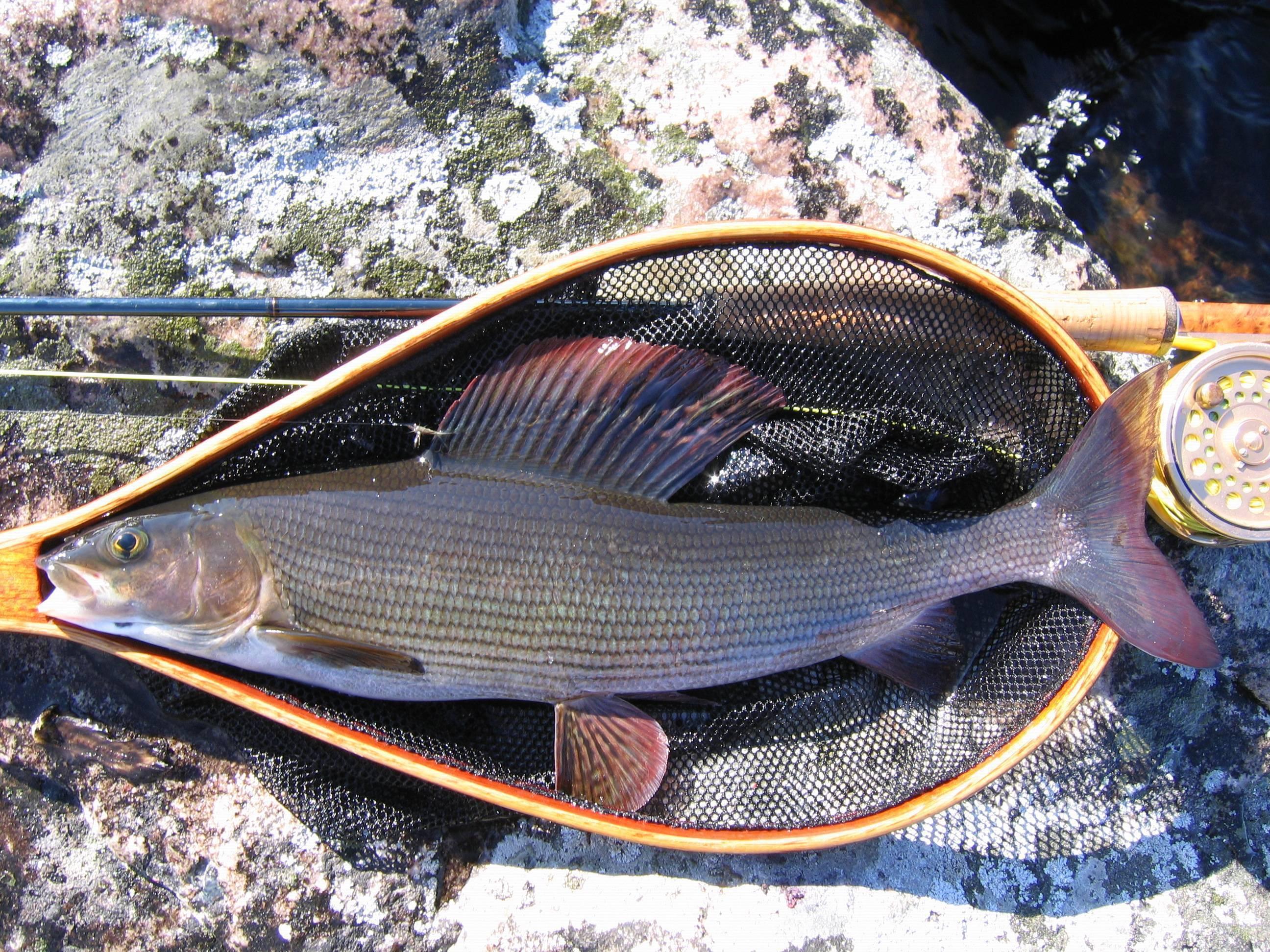 Рыба хариус: как выглядит, когда проходит нерест, полезные свойства