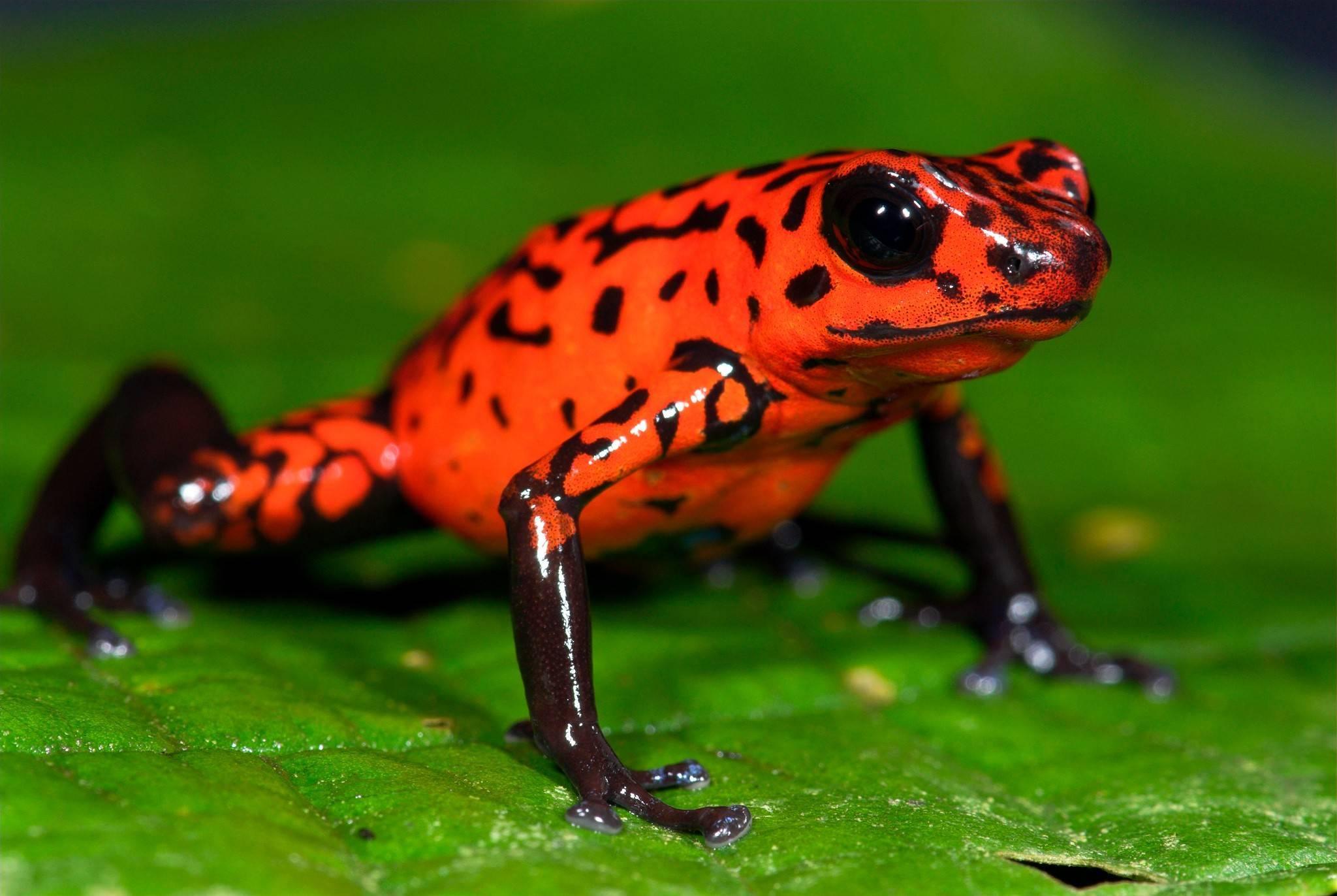 Самое ядовитое существо в мире — крошечная лягушка
