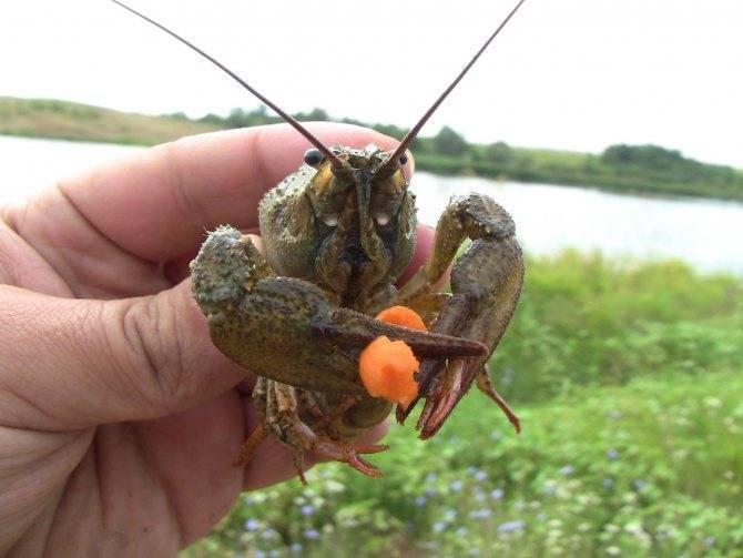 На что ловить карася в августе: наживки, поплавочная удочка и фидер