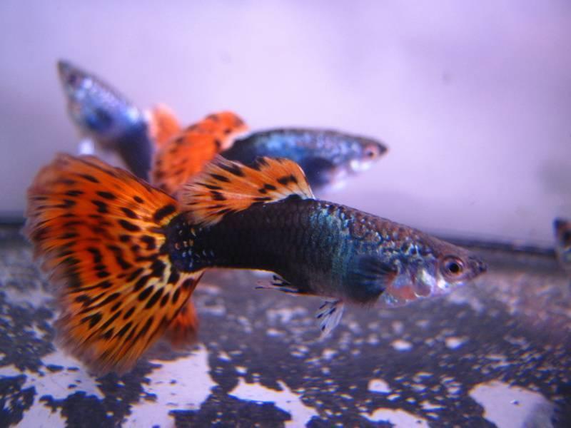 Аквариумные рыбки гупики — описание внешнего вида, содержание и уход, особенности размножения с видео