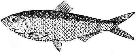 Сельдь рыба. образ жизни и среда обитания сельди   животный мир