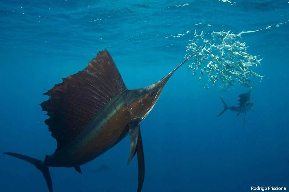 Самые быстрые рыбы в мире – список, скорость, названия, где водятся, фото и видео - «как и почему»