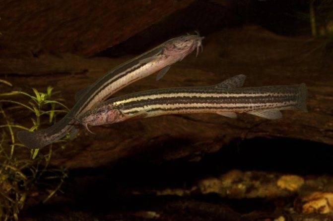 Рыба семейства вьюновых — виды, особенности