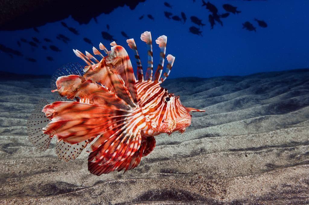 Особенности жизнедеятельности рыбы крылатки — изучаем во всех подробностях