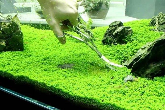 Микрантемум монте карло — неприхотливый коврик для вашего аквариума