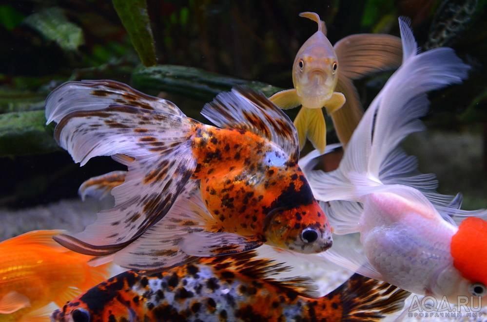 Аквариумные рыбки петушки: уход и содержание