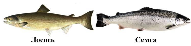 Лосось и семга – это одно и то же или нет, в чем разница и сходство