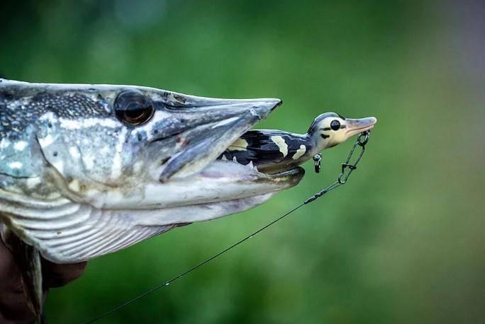 Как ловить щуку на блесну летом