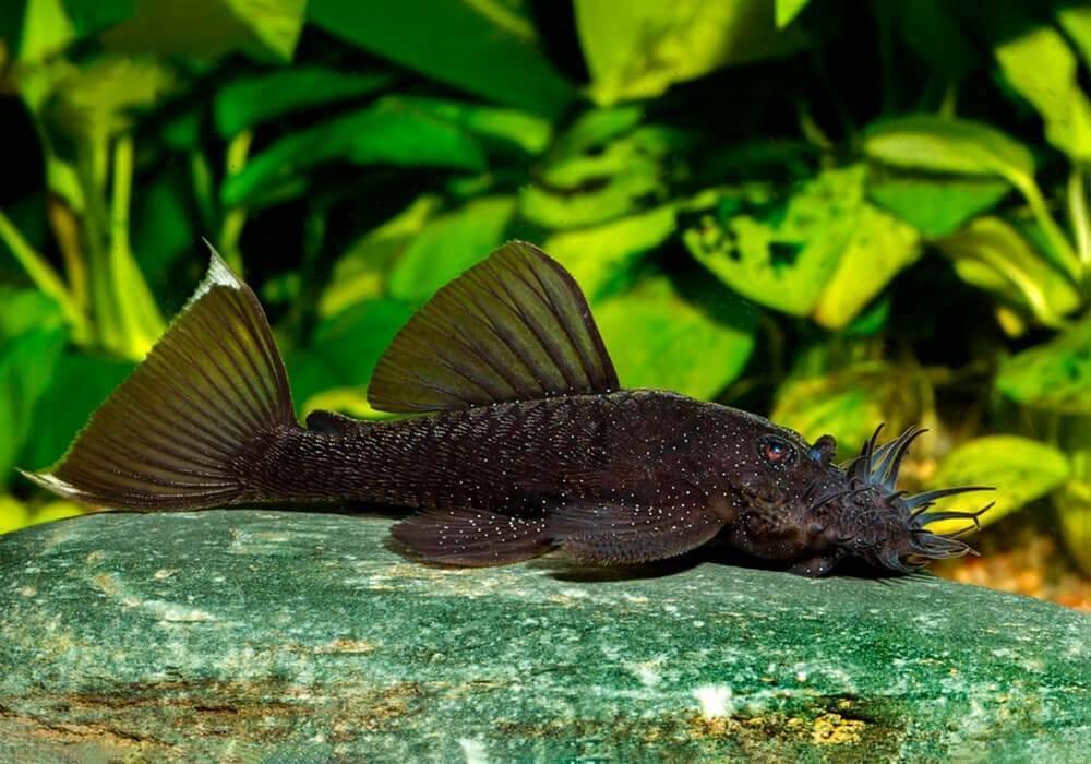 Сом-прилипала: аквариумные присоски анциструс, стурисома и глиптоперихт и правила их содержания