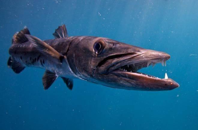 Голец рыба. описание, особенности, виды, образ жизни и среда обитания гольца | живность.ру