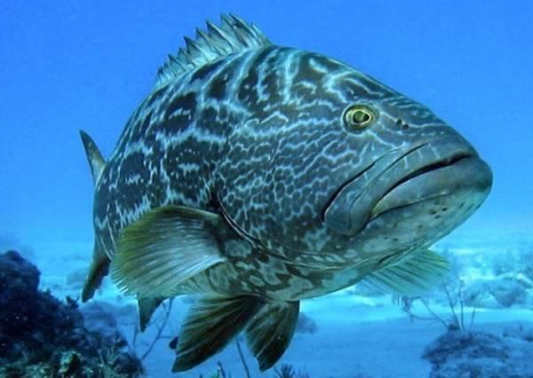 Групер рыба: ее разновидности, места обитания