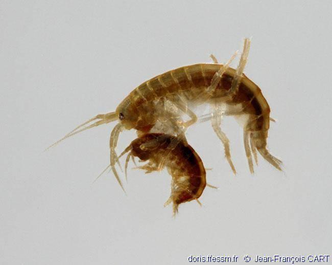 Гаммарус: корм для рыб, как хранить, как кормить, где взять