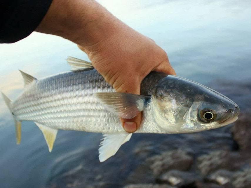 Кефаль и пеленгас отличия — ловись рыбка