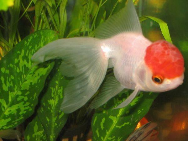 Золотые рыбки — виды, размножение, содержание
