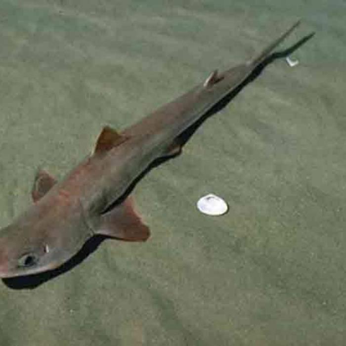 Колючая акула катран: описание, ареал обитания, размножение