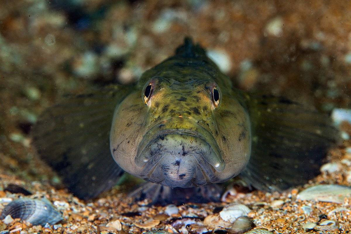 Бычковые (gobiidae). бычок - реликтовая рыба рыбы бычки откладывают икру