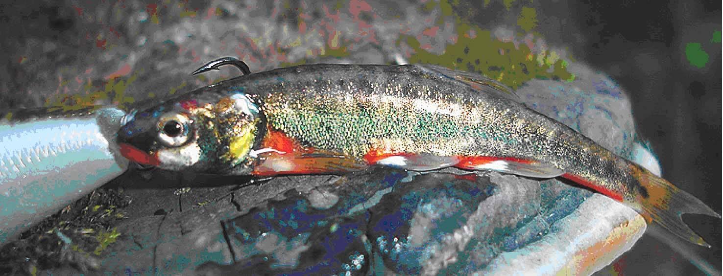Рыба гольян: что за рыба, как выглядит, чем питается, когда ловить