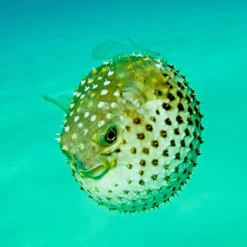 Рыба еж – колючий смертельно опасный шар