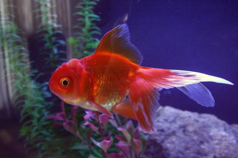 Золотые рыбки — содержание в домашних условиях
