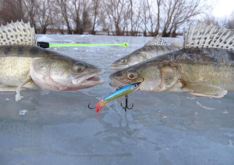 Рыбалка на судака зимой: лучшие снасти и методы ловли