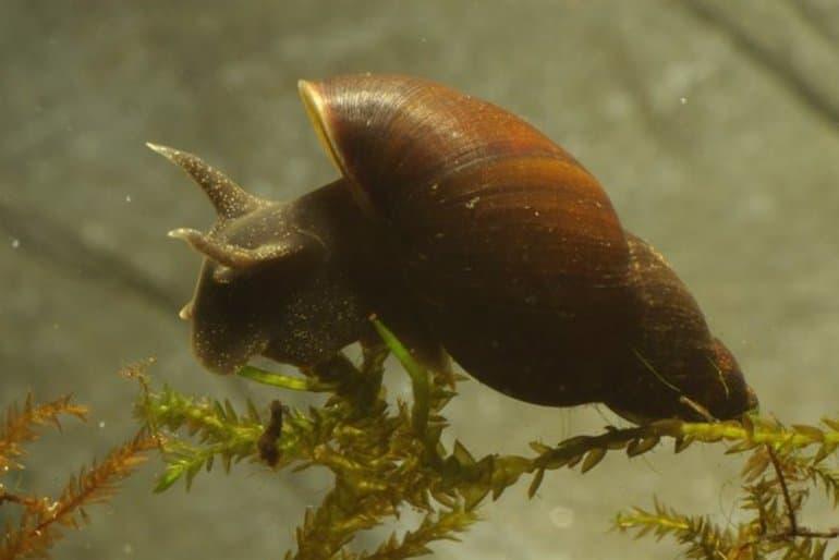 Улитка хелена (хищная, убийца, улиткоед): содержание в аквариуме, уход, размножение, чем кормить, фото, видео