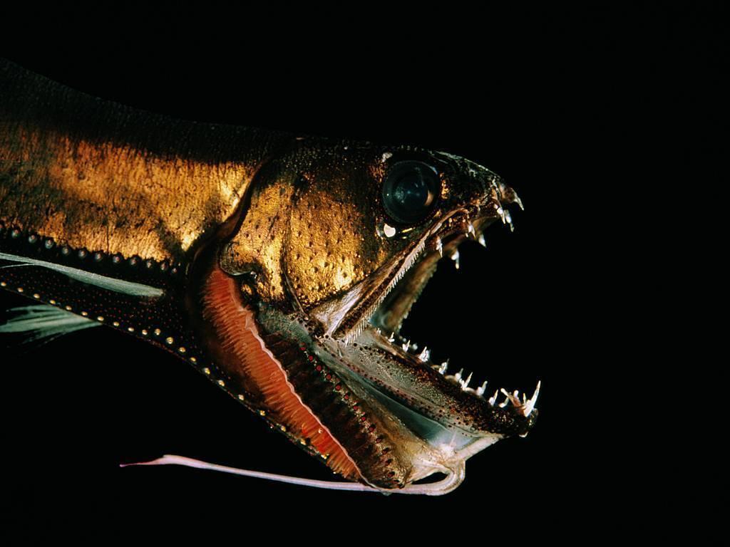 Морской черт - 56 фото основных видов глубоководного хищника