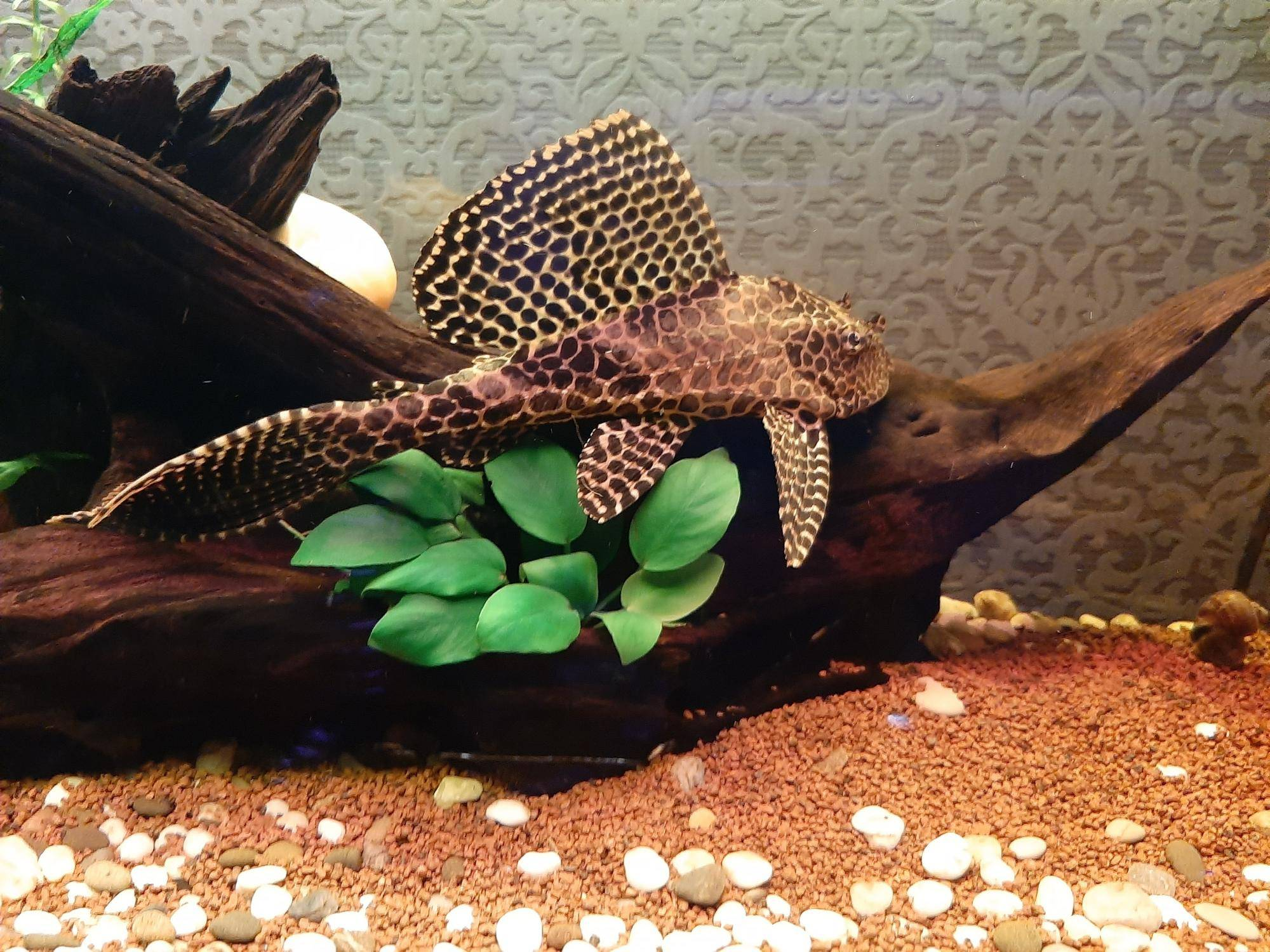 Птеригоплихт или сом парчовый – любимый аквариумный вид |