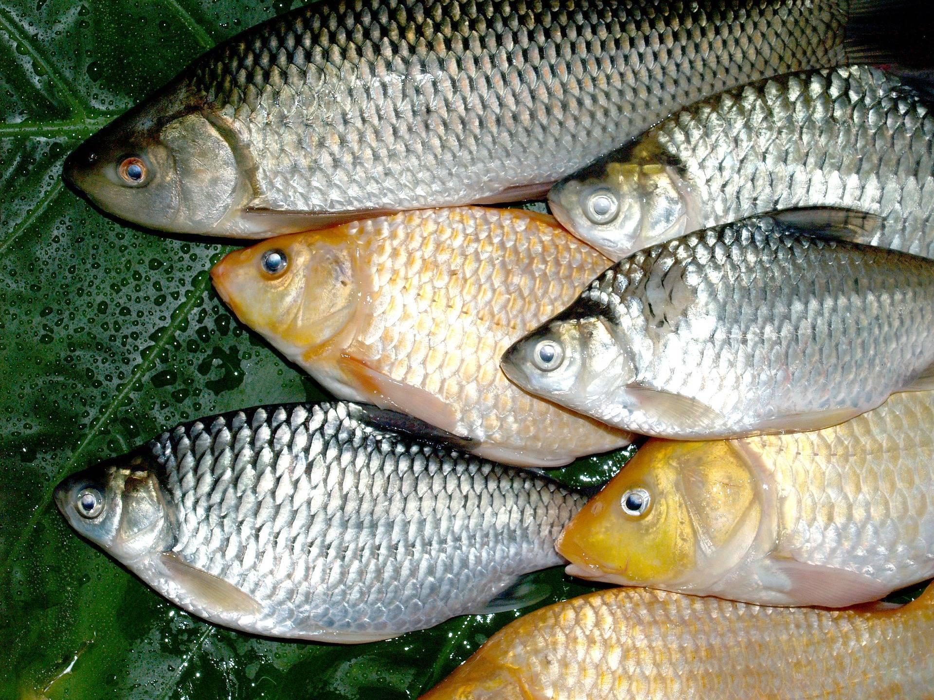 Как сохранить рыбу свежей после вылова