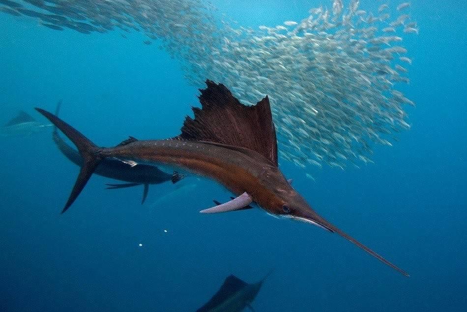 Какая рыба в океане плавает быстрее всех — 10 самых шустрых