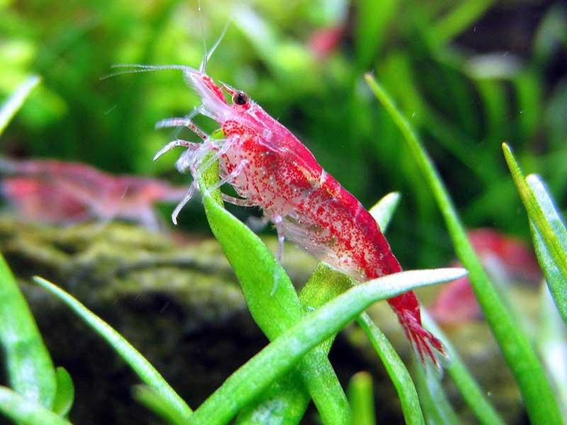 Креветки аквариумные: содержание и уход, размножение, чем кормить и совместимость с другими рыбами, как отличить самку от самца и какие растения нужны