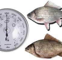 Карась - описание рыбы, характеристики, фото