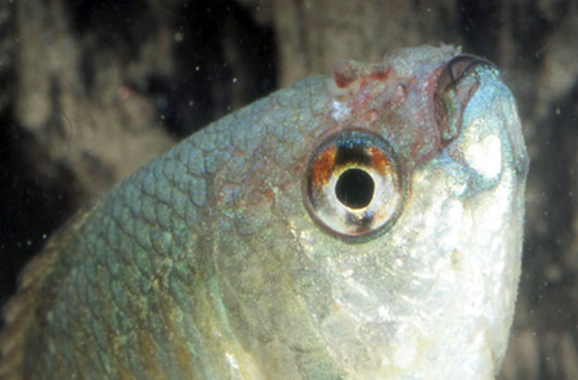 Колумнариоз – заболевания аквариумных рыб
