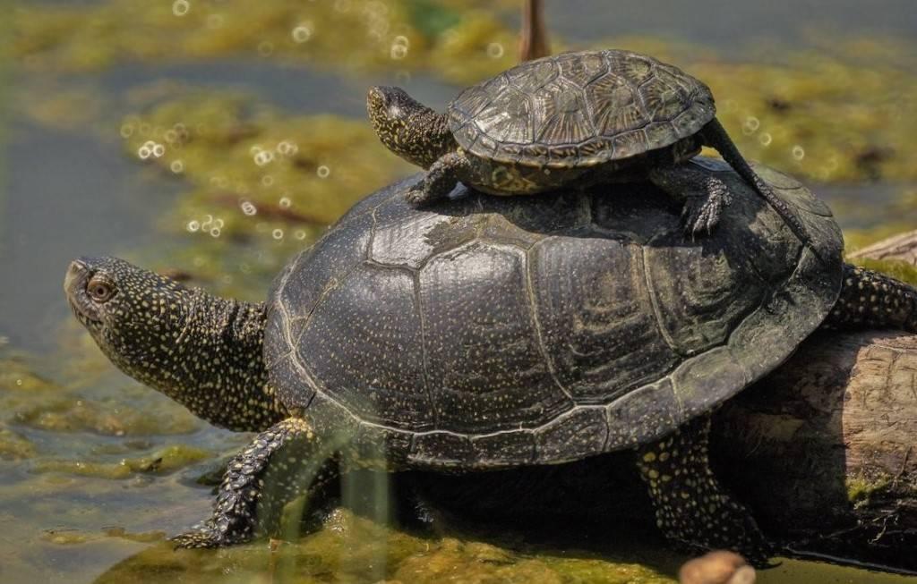 Болотная черепаха - уход и содержание, что ест, где живет, фото