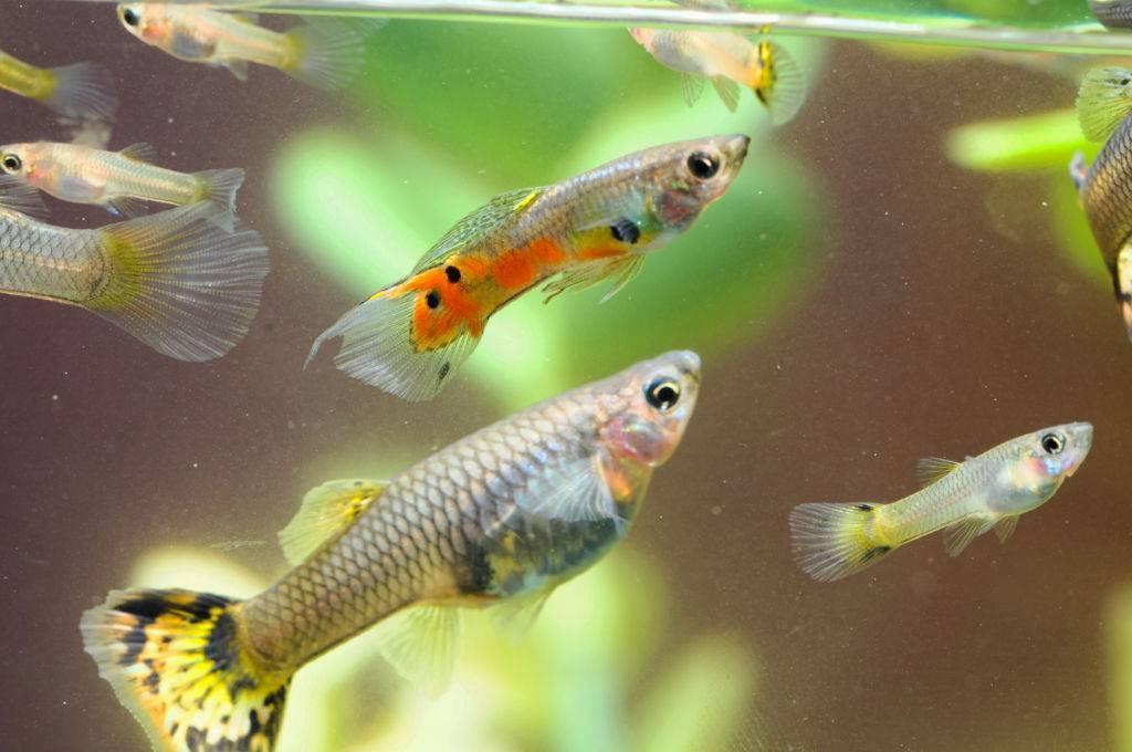 Гуппи: фото рыбок, содержание, разведение, совместимость, видео гуппи: фото рыбок, содержание, разведение, совместимость, видео