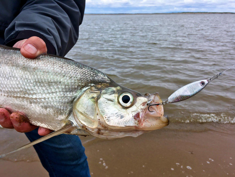 Рыба верхогляд: описание, ареал обитания и образ жизни, особенности ловли, фото