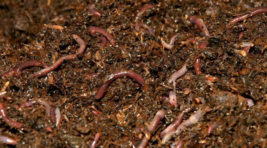 Дождевые черви разведение в домашних условиях чем подкармливать