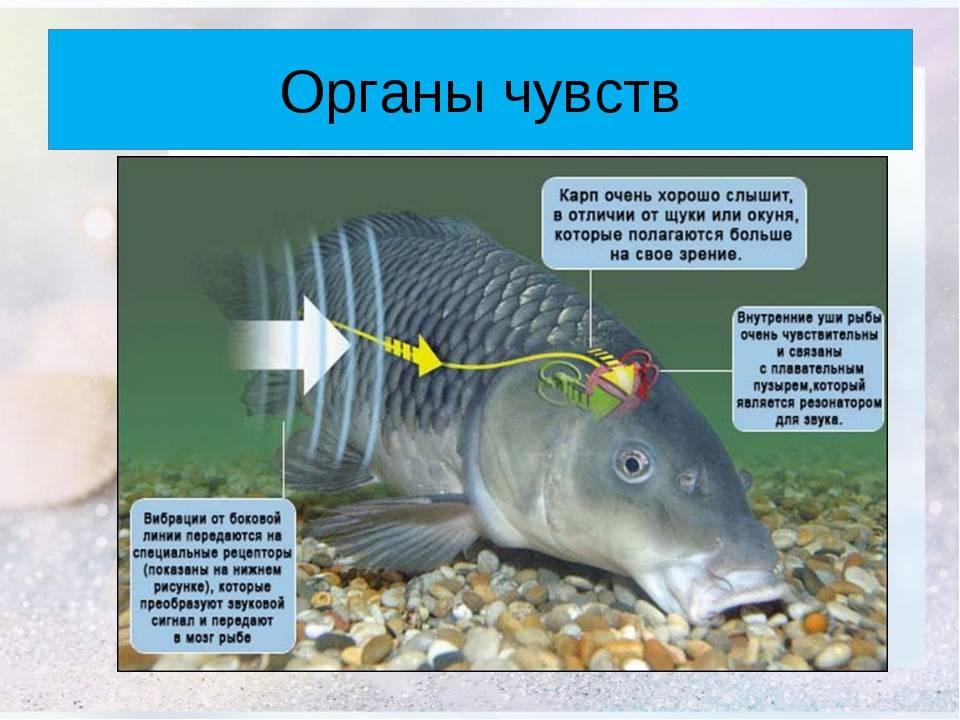 Способны ли рыбы слышать? органы чувств рыб, строение и их функции орган слуха и равновесия рыб.