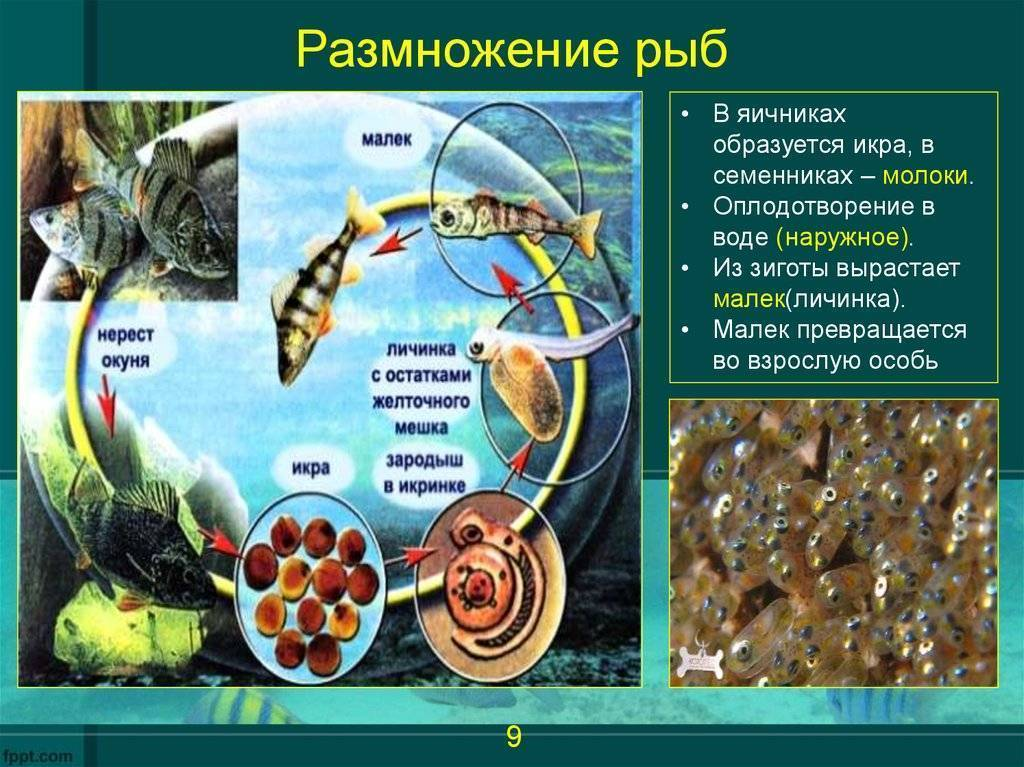 Гарра руфа: разведение и размножение рыбки-доктора в домашних условиях, проведение лечебных спа-процедур