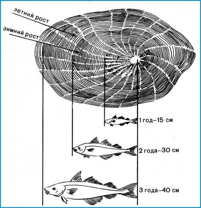 Как чешуя может рассказать о возрасте рыбы?