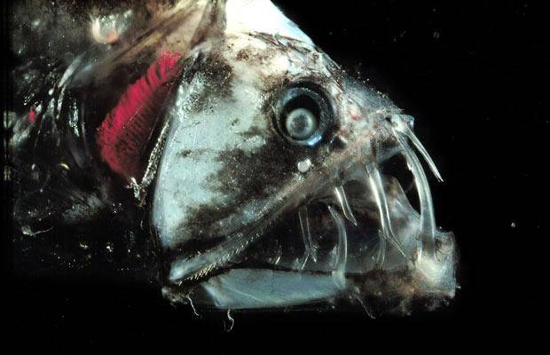 Морские черти – фото, описание, ареал, рацион, враги, популяция